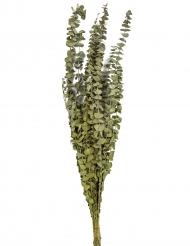 15 Branches d'eucalyptus séché 150 g 66 cm